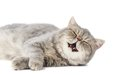 One yawning and purring british shorthair kitten cat isolated Stock Image