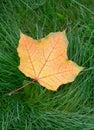 One yellow autumn maple leaf Royalty Free Stock Photo