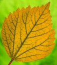 One Yellow china rose tree leaves. Royalty Free Stock Photo