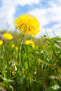 One yellow dandelion on cloudy sky background. Royalty Free Stock Photo