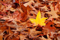 One Yellow Fall Leaf in Pile of Brown Leaves Royalty Free Stock Image