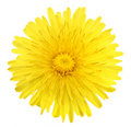 One yellow flower of dandelion Royalty Free Stock Photo