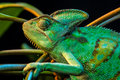 One yemen chameleon isolated on black background Royalty Free Stock Image