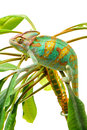 One yemen chameleon isolated on the green leaves on white background Stock Photos