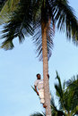 One young African man is on top of coconut tree. Royalty Free Stock Photo