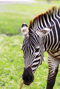 One zebra Royalty Free Stock Images