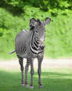 One zebra on green grass Stock Image