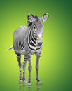 One zebra over green background Stock Photography