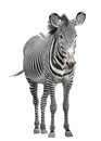 One zebra is over white background Royalty Free Stock Photos