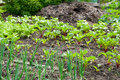Onion and beetroot plants  on a vegetable garden ground Royalty Free Stock Photo