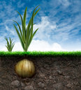 Onion bulb and grass in blue sky an Royalty Free Stock Photo