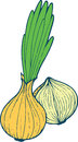 Onion coloring page hand drawn illustration for adult and childr