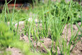Onion in ecological home garden young eco friendly backyard vegetable Royalty Free Stock Photos