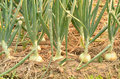 Onion field this is an Royalty Free Stock Photography