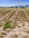 Onion field with rows of dug out onions Royalty Free Stock Photo
