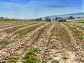 Onion field with rows of dug out onions Stock Photo