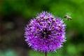 Onion Flower Royalty Free Stock Photo
