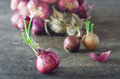 Onion with fresh green sprout Royalty Free Stock Photo