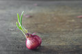 Onion with fresh green sprout Royalty Free Stock Photos