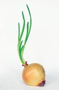 Onion with fresh green sprout clipping path Royalty Free Stock Photography