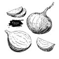 Onion hand drawn vector set. Full, half and cutout slice. Isolated Vegetable