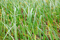 Onion plants beautiful shot of in field Royalty Free Stock Photography