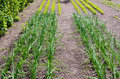 Onion plants rows with growing and lettuce in vegetable garden Royalty Free Stock Photography