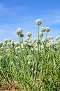 Onion seed flowering Royalty Free Stock Photo