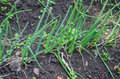 Onion seeding in the earth Royalty Free Stock Images