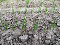 Onion sprouts in early spring at the kitchen garden Royalty Free Stock Photo