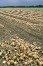 Onions are drying after harvest on a farm field this land in the south of the province limburg is farmer harvesting the whole is Stock Photography
