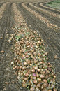 Onions are drying after harvest on a farm field this land in the south of the province limburg is farmer harvesting the whole is Stock Images
