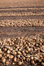Onions in rows on a field Royalty Free Stock Images