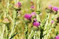 Onopordum acanthium purple thistle blooming in the meadow Royalty Free Stock Photo