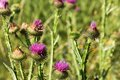 Onopordum acanthium purple thistle blooming in the meadow Stock Image