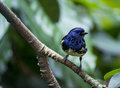 Opal rumped tanager an in california s academy of sciences Stock Image