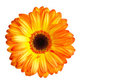 The opange gerbera Stock Photography