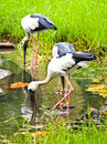 Open billed stork bird anastomus oscitans in the water Royalty Free Stock Images