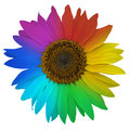 Open blossom of rainbow sunflower Royalty Free Stock Photo