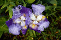 Open Blue Iris flowers after rain Royalty Free Stock Photo