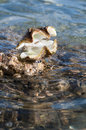 Open Clam Shell Rests on a Rock at the Tide Line Royalty Free Stock Photo