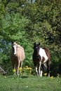 Two horses in an open field Royalty Free Stock Photo