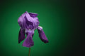 Open Purple Iris flower petal against green background. Royalty Free Stock Photo