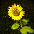 Open sunflower isolated in a field of grass - toned image Royalty Free Stock Photo