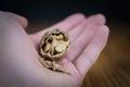 Open walnut in hand closeup