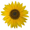 Open yellow blossom of sunflower Stock Image