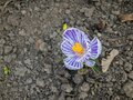Bud of crocus flower shows - spring is coming and life is going on despite of Coronavirus COVID-19 pandemic Royalty Free Stock Photo
