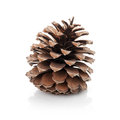 Opened cedar cone Stock Images