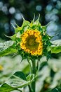 Opening bud of bright sunflower in the center of the frame with blurred bokeh. Blooming sunflower seeds with Royalty Free Stock Photo