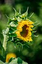 Opening bud of bright sunflower in the center of the frame with blurred bokeh. Side view. Royalty Free Stock Photo